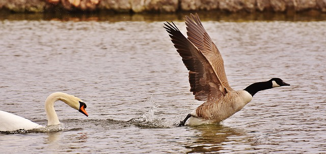 photo of swan chasing a goose